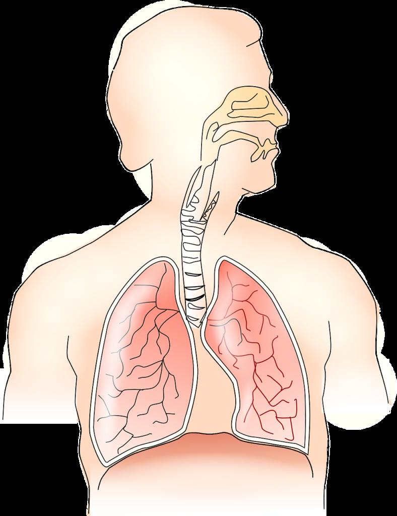 anatomy-145696_1280 from Pixabay.com